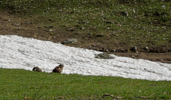 Marmotte sul bianco (neve) …